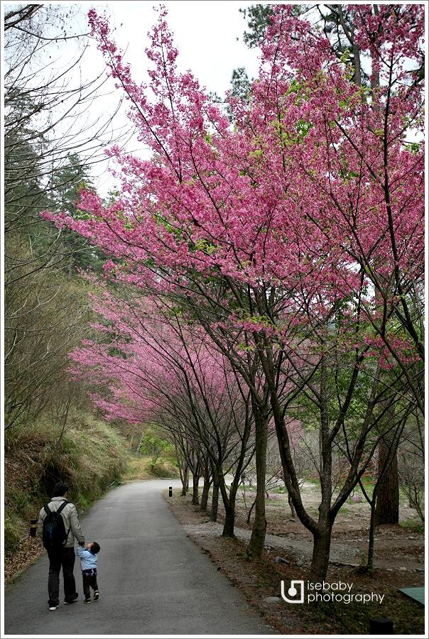 [景點] 台中-抓住紅粉佳人櫻花季的尾巴::武陵農場(5Y9M+2Y6M)